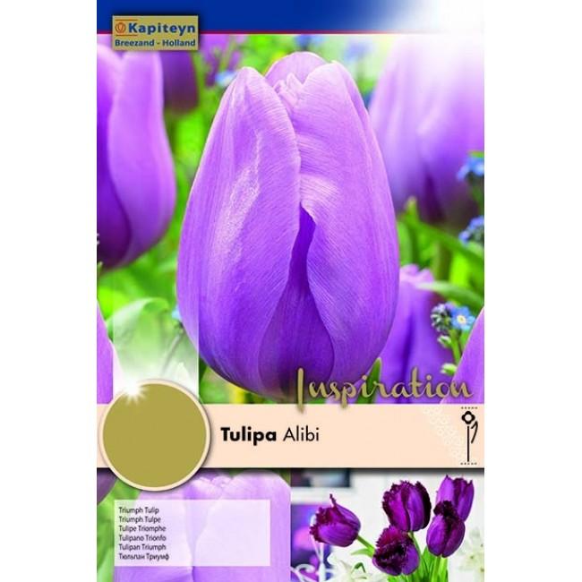 Tulip Triumph Alibi