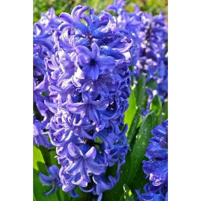 Hyacinth Deft Blue