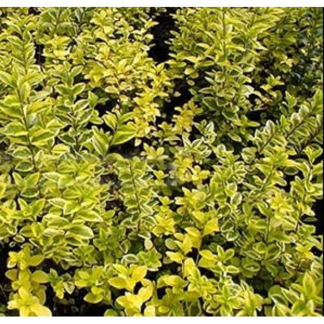 Gold Privet hedging palnts