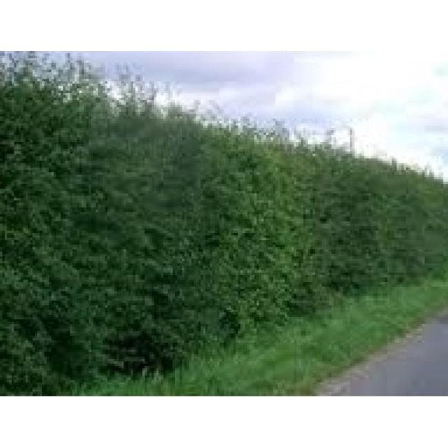 Hawtorn Hedging