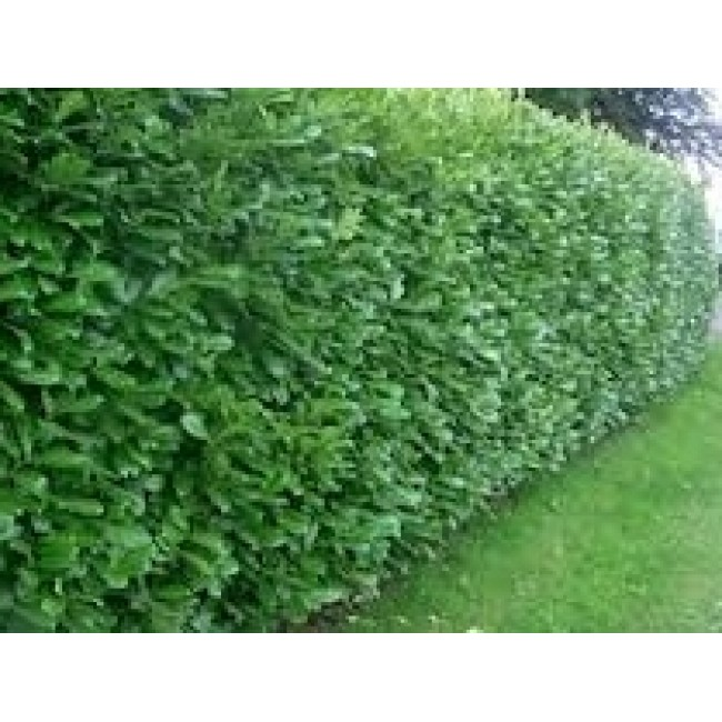 Laurel Hedging Bareoot