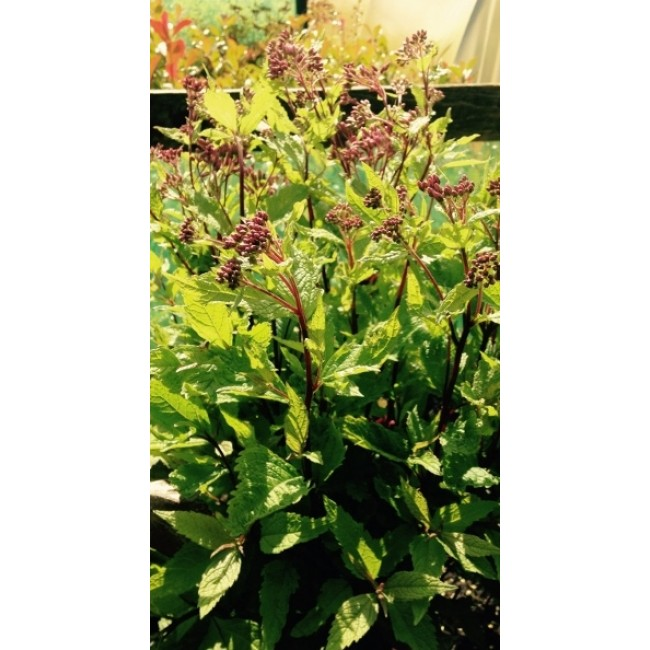 Eupatorium Purple Bush