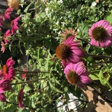 Echinacea Pow-wow Wild Berry