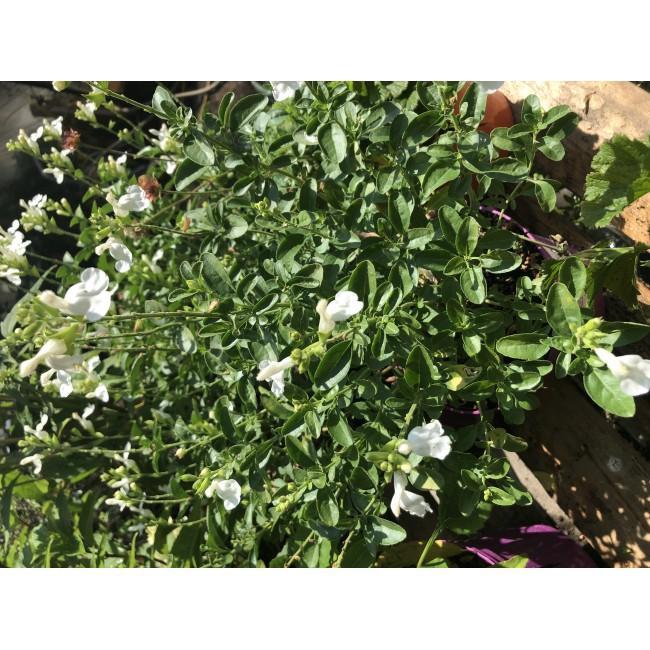 Salvia Greggii Mirage White