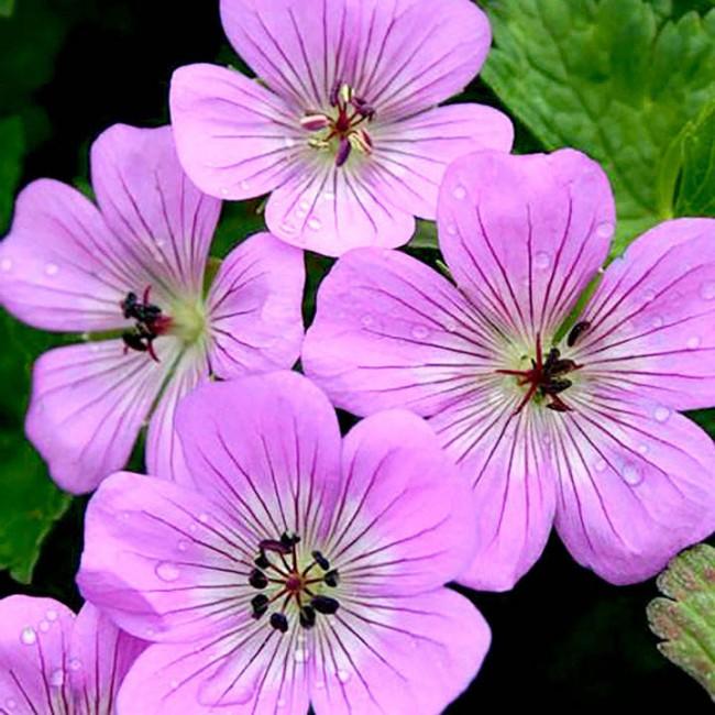 Geranium Bloomtime