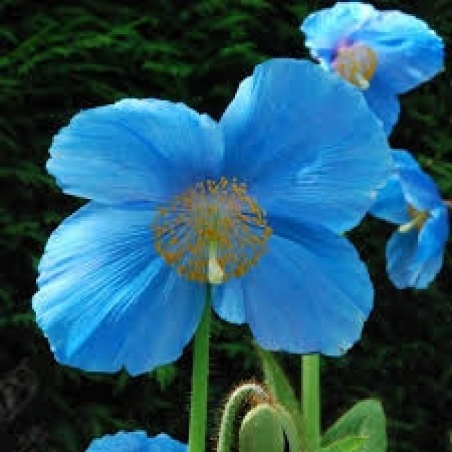 Blue Poppy 'Meconopsis Lingholm'