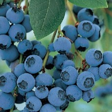 Blueberry Blue Crop