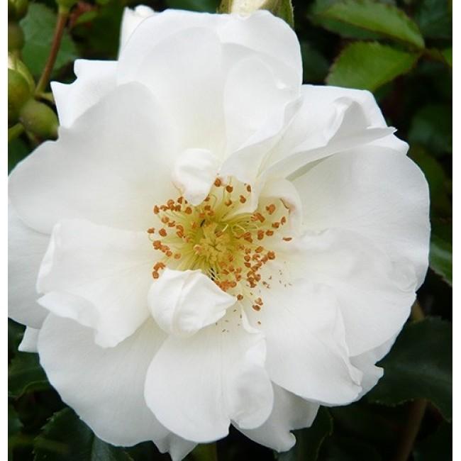 Rose flower carpet white new rose flower carpet white mightylinksfo