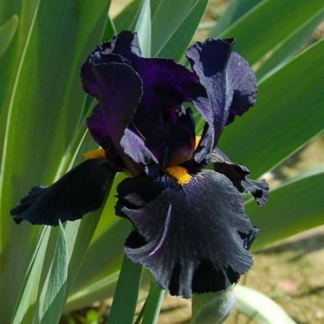 Iris Black Knight