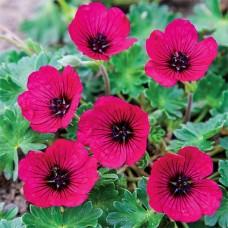 Geranium Jolly Jewel Red