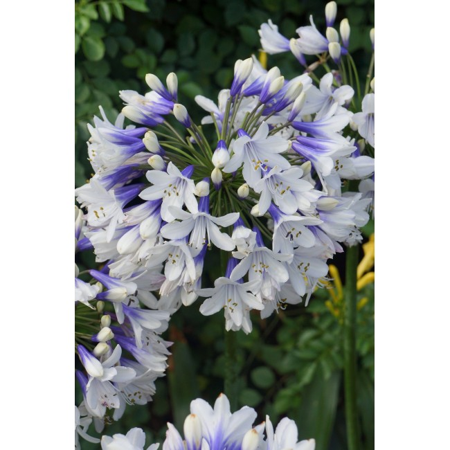 Agapanthus Twister