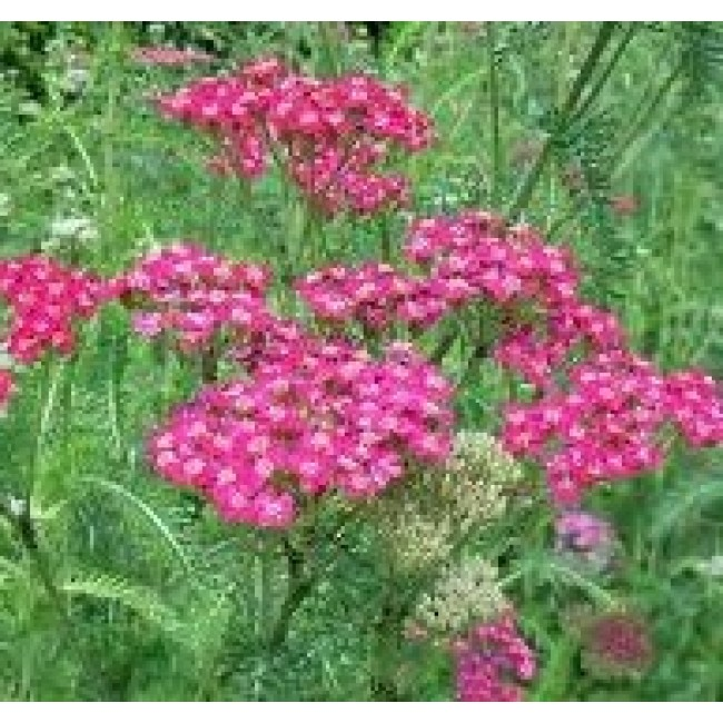 Achillea mil. Smiling Queen